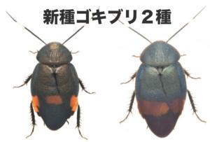 新種ゴキブリ2種